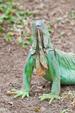 iguana portret Obrazy Stock