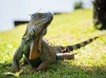 Iguana portret obrazy royalty free