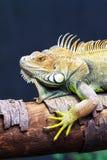 Iguana portret Zdjęcie Royalty Free