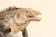 Iguana portreta uśmiechnięty zakończenie up zdjęcie royalty free