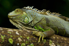Iguana portriat. Portrait of an Iguana form the side Stock Images