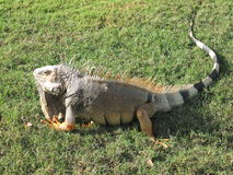 Iguana. An iguana poses on the grass in the park royalty free stock photography