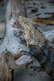 Iguana posing on the beach. Las Gemelas Stock Image