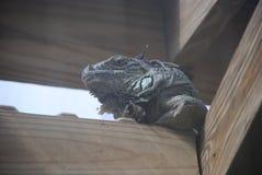 Iguana. An Iguana posing for the camera Stock Photo