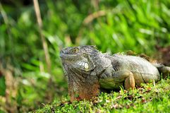 Iguana posing on grass Royalty Free Stock Photos