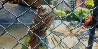 Iguana Potrait. Animal reptilia animals royalty free stock images