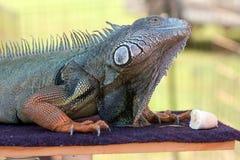 A iguana prepara-se para comer a banana Fotografia de Stock