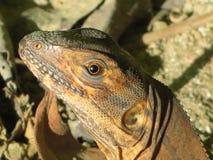 Iguana preta Fotografia de Stock