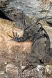 Iguana preta de Spinytail (similis de Ctenosaura) Fotografia de Stock Royalty Free