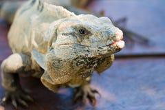 Iguana in primo piano su fondo scuro Immagine Stock Libera da Diritti
