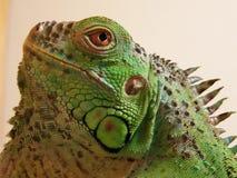 Iguana principal de la iguana Fotografía de archivo libre de regalías