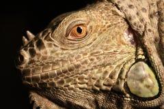 iguana profil Zdjęcia Stock