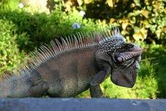 Iguana Profile Stock Photography