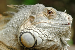 Iguana profile Royalty Free Stock Photography