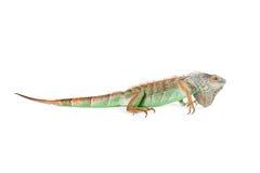 Iguana Profile - Isolated on White Stock Photo