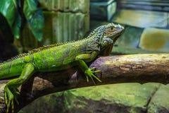 Iguana przy Exploris Zdjęcia Stock