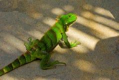 Iguana przy plażą w dowietrznych wyspach zdjęcie stock