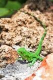 Iguana Puerto Rico Obraz Stock