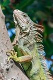 Iguana In Puerto Rico Royalty Free Stock Photo