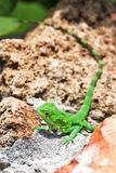 Iguana Puerto Rico Stock Image