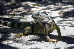 Iguana from Puerto Rico. This picture was shoot in Gilligan Island Puerto Rico stock image