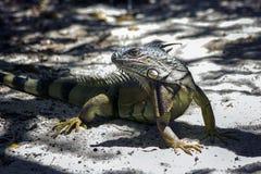 Iguana from Puerto Rico stock image