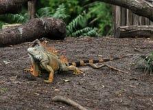 Iguana que anda por um lago fotografia de stock