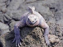 Iguana que calienta en el sol fotografía de archivo
