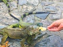 Iguana que come la fruta en el parque de Seminario, Guayquil Ecuador Fotografía de archivo