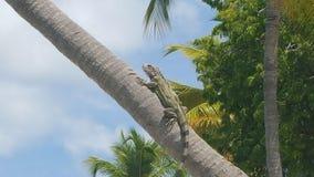 Iguana que cuelga hacia fuera en la palmera Fotografía de archivo