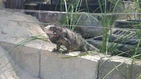 Iguana que cuelga hacia fuera en la pared Foto de archivo