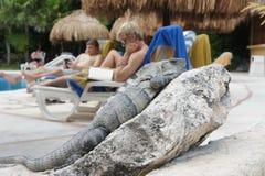 Iguana que encontra-se em uma rocha Fotos de Stock