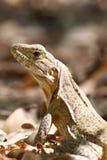 Iguana que expõe-se ao sol Foto de Stock Royalty Free