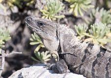 Iguana que expõe-se ao sol em uma rocha, Puerto Aventuras, México Fotos de Stock
