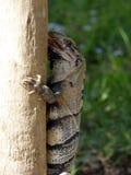 Iguana que lame la palmera en Tulum, México imagen de archivo