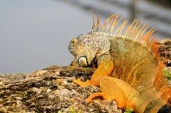 Iguana que mira el agua de la roca, la Florida Fotografía de archivo