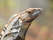 Iguana que observa Costa Rica Foto de Stock