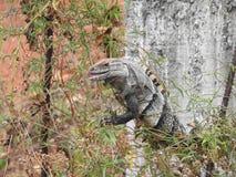 Iguana que observa Costa Rica Fotografia de Stock Royalty Free