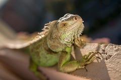Iguana que presenta en el sol y que se relaja Fotos de archivo
