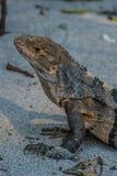 Iguana que presenta en la playa Fotografía de archivo