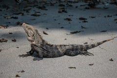 Iguana que presenta en la playa Foto de archivo libre de regalías