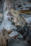 Iguana que presenta en la playa Imagen de archivo