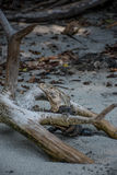 Iguana que presenta en la playa Fotos de archivo libres de regalías