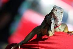 Iguana que presenta en un hombro Foto de archivo libre de regalías