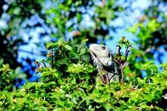 Iguana que presenta, parque de la Florida Imagen de archivo