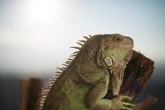 Iguana que se arrastra en un pedazo de madera y de presentación Foto de archivo libre de regalías