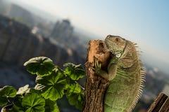 Iguana que se arrastra en un pedazo de madera y de presentación Fotografía de archivo