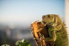 Iguana que se arrastra en un pedazo de madera y de presentación Fotografía de archivo libre de regalías