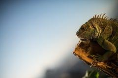 Iguana que se arrastra en un pedazo de madera y de presentación Fotos de archivo libres de regalías