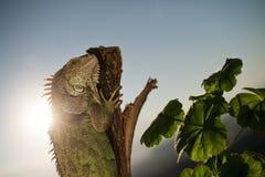Iguana que se arrastra en un pedazo de madera y de presentación Foto de archivo